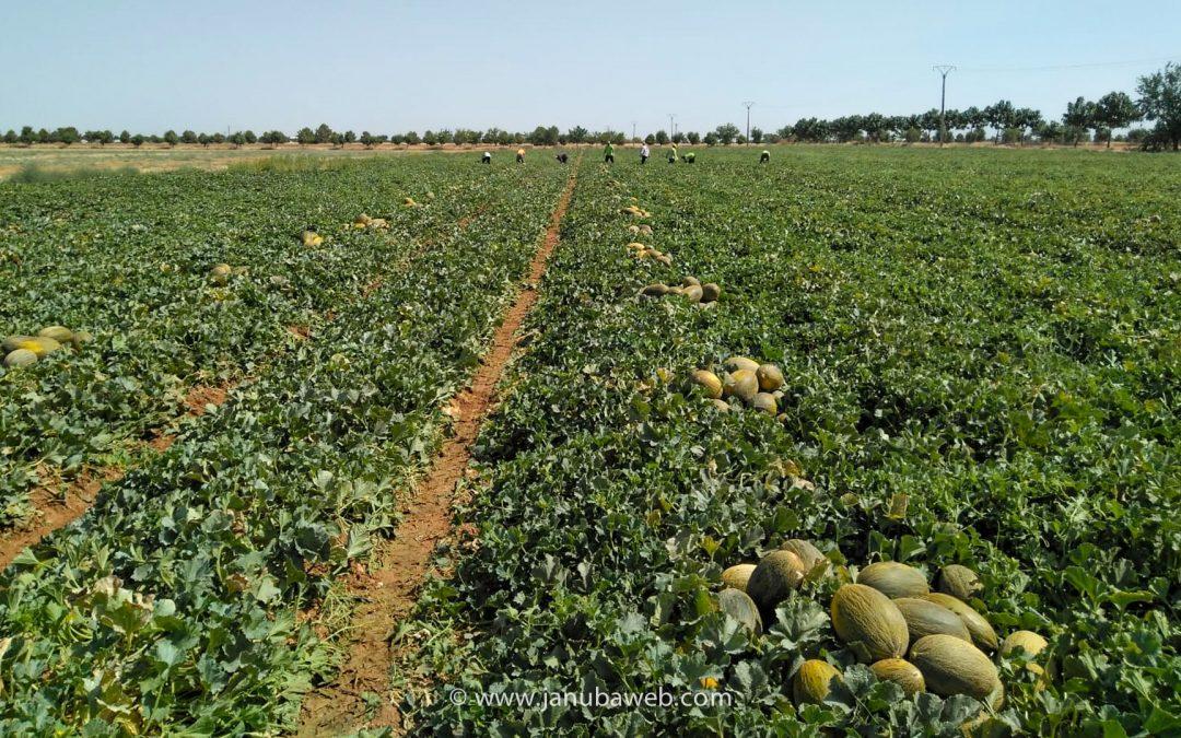 Comienza la corta del melón en JJF Agrícola